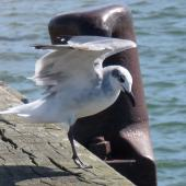 Laughing gull. Immature landing on wharf. Opotiki Wharf, January 2017. Image © Scott Brooks (ourspot) by Scott Brooks