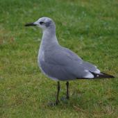 Laughing gull. Immature. Opotiki, January 2017. Image © Colin Miskelly by Colin Miskelly