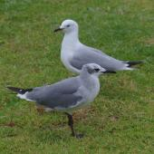Laughing gull. Immature in front of immature red-billed gull. Opotiki, January 2017. Image © Colin Miskelly by Colin Miskelly