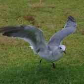 Laughing gull. Immature with wings raised. Opotiki, January 2017. Image © Colin Miskelly by Colin Miskelly