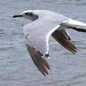 Laughing gull. Immature in flight. Waiotahi River estuary, December 2016. Image © David Riddell by David Riddell