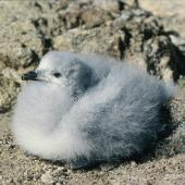 Snow petrel. Chick. Hop Island, Prydz Bay, Antarctica, February 1990. Image © Colin Miskelly by Colin Miskelly