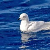 Snow petrel. Adult on water. Southern Ocean, January 2018. Image © Mark Lethlean by Mark Lethlean