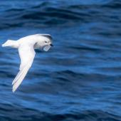 Snow petrel. Adult in flight, dorsal view. Southern Ocean, January 2018. Image © Mark Lethlean by Mark Lethlean