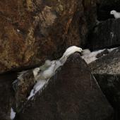 Snow petrel. Adults displaying at breeding colony. Haswell Island, near Mirny Station, Antarctica, November 2012. Image © Sergey Golubev by Sergey Golubev