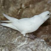 Snow petrel. Adult calling at breeding colony. Hop Island, Prydz Bay, Antarctica, December 1989. Image © Colin Miskelly by Colin Miskelly