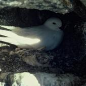 Snow petrel. Adult on nest. Cape Denniston, Antarctica, December 1981. Image © Department of Conservation (image ref: 10037112) by Brian Ahern, Department of Conservation Courtesy of Department of Conservation