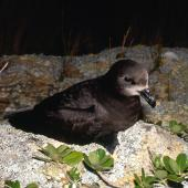 Grey-faced petrel. Breeding adult outside burrow. Burgess Island, Mokohinau Islands. Image © Terry Greene by Terry Greene