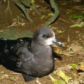 Grey-faced petrel. Breeding adult outside burrow showing head. Burgess Island, Mokohinau Islands. Image © Terry Greene by Terry Greene