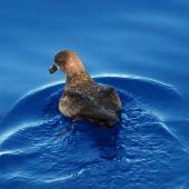 Grey-faced petrel. Swimming. Pacific Ocean, March 2009. Image © Nigel Voaden by Nigel Voaden http://www.flickr.com/photos/nvoaden/