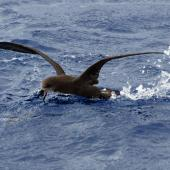 Grey-faced petrel. Adult on water. Pacific Ocean, March 2009. Image © Nigel Voaden by Nigel Voaden http://www.flickr.com/photos/nvoaden/