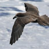 Grey-faced petrel. Adult in flight. South of the Kermadec Islands, April 2021. Image © Scott Brooks (ourspot) by Scott Brooks