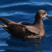 Grey-faced petrel. Adult swimming. Tutukaka Pelagic out past Poor Knights Islands, October 2020. Image © Scott Brooks (ourspot) by Scott Brooks