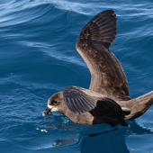 Grey-faced petrel. Adult feeding. Whangaroa pelagic, December 2013. Image © Les Feasey by Les Feasey