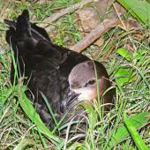 Grey-faced petrel. Adult on nesting ground. Rapanui petrel colony, September 2010. Image © Peter Frost by Peter Frost
