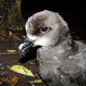 Grey-faced petrel. Close view of adult head. Ihumoana Island, Bethells Beach, December 2011. Image © Alan Tennyson by Alan Tennyson