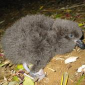 Grey-faced petrel. Chick. Bethells Beach, August 2002. Image © Graeme Taylor by Graeme Taylor