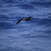 Grey-faced petrel. Adult in flight. At sea off Whangaroa Harbour, Northland, January 2011. Image © Jenny Atkins by Jenny Atkins www.jennifer-m-pics.ifp3.com