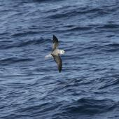 White-headed petrel. Dorsal view of bird in flight. At sea en route to Antipodes Island, April 2009. Image © David Boyle by David Boyle