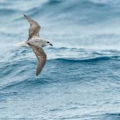 White-headed petrel. Dorsal view of bird in flight. At sea off Otago Peninsula, March 2017. Image © Matthias Dehling by Matthias Dehling
