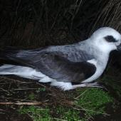 White-headed petrel. Adult at breeding colony. Disappointment Island, Auckland Islands, January 2018. Image © Colin Miskelly by Colin Miskelly