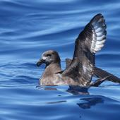 Providence petrel. Adult on water. At sea off Brisbane, Queensland, Australia, October 2011. Image © Tim Lenz by Tim Lenz via Flickr, 2.0 Generic (CC BY 2.0)