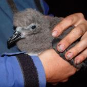 Chatham Island taiko. Chick in hand. Tuku Nature Reserve, April 2005. Image © Graeme Taylor by Graeme Taylor