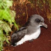 Chatham Island taiko. Partial profile of adult at burrow entrance. Tuku Nature Reserve, October 2006. Image © Graeme Taylor by Graeme Taylor