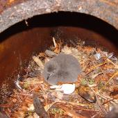Chatham Island taiko. Small chick in nest box. Tuku Nature Reserve, February 2009. Image © Graeme Taylor by Graeme Taylor