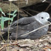 Kermadec petrel. Pale morph adult on nest. Phillip Island, Norfolk Island, November 2016. Image © Ian Armitage by Ian Armitage