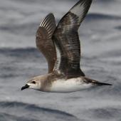 Kermadec petrel. Adult in flight (pale morph). Kermadec Islands, March 2021. Image © Scott Brooks (ourspot) by Scott Brooks