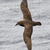 Kermadec petrel. Adult in flight (dark morph). Kermadec Islands, March 2021. Image © Scott Brooks (ourspot) by Scott Brooks