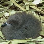 Kermadec petrel. Chick in nest. Meyer Island, Kermadec Islands, January 1967. Image © Department of Conservation (image ref: 10037100) by Don Merton, Department of Conservation Courtesy of Department of Conservation