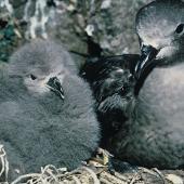 Kermadec petrel. Dark morph adult and chick in nest. South Meyer Island, Kermadec Islands, December 1966. Image © Department of Conservation (image ref: 10037101) by Don Merton, Department of Conservation Courtesy of Department of Conservation