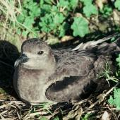 Kermadec petrel. Dark morph adult on nest. Meyer Island, Kermadec Islands. Image © Department of Conservation (image ref: 10031070) by Dick Veitch, Department of Conservation Courtesy of Department of Conservation