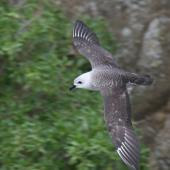 Kermadec petrel. Dorsal view of pale morph adult in flight, showing white wing 'flashes'. Raoul Island, Kermadec Islands. Image © Gareth Rapley by Gareth Rapley