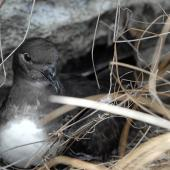 Phoenix petrel. Adult at nest site. Hatuta'a Island (protected area, Cat. IV), Marquesas archipelago, French Polynesia, June 2010. Image © Fred Jacq by Fred Jacq www.fred-jacq.org