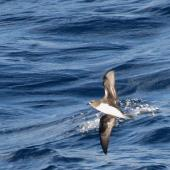 Phoenix petrel. Adult. About 500 km N-NE of American Samoa, October 2008. Image © Ed McVicker by Ed McVicker http://www.flickr.com/photos/10665268@N04/collections/72157609032891405/