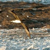 Phoenix petrel. Adult in flight, ventral. Rawaki, Phoenix Islands, January 2008. Image © Mike Thorsen by Mike Thorsen