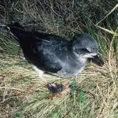 Soft-plumaged petrel. Adult at breeding colony. Antipodes Island, October 1990. Image © Colin Miskelly by Colin Miskelly