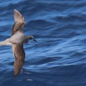 Soft-plumaged petrel. Adult. Kawhia Harbour, 31 nautical miles to west, April 2016. Image © Tim Barnard by Tim Barnard