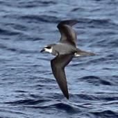 Soft-plumaged petrel. In flight top view. Kaikoura pelagic, June 2015. Image © Duncan Watson by Duncan Watson