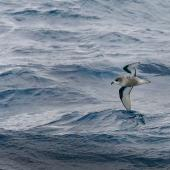 Mottled petrel. Adult in flight. Southern Ocean, January 2018. Image © Mark Lethlean 2018 birdlifephotography.org.au by Mark Lethlean