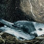 Mottled petrel. Adult on nest. North East Island, Snares Islands, November 1986. Image © Colin Miskelly by Colin Miskelly