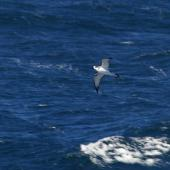Juan Fernandez petrel. Adult in flight. At sea off Valparaiso, Chile, January 2009. Image © Colin Miskelly by Colin Miskelly
