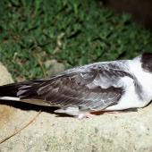 White-naped petrel. Adult on ground at night. Macauley Island, Kermadec Islands, November 1988. Image © Graeme Taylor by Graeme Taylor