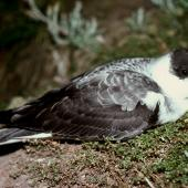 White-naped petrel. Adult on surface at night. Macauley Island, Kermadec Islands, November 1988. Image © Graeme Taylor by Graeme Taylor