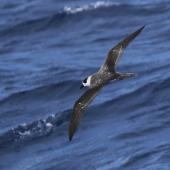 White-naped petrel. Rear view of adult in flight. At sea off Whangaroa Harbour, Northland, January 2011. Image © Jenny Atkins by Jenny Atkins www.jennifer-m-pics.ifp3.com