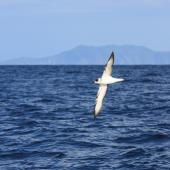 White-naped petrel. Ventral view of bird in flight showing underwing markings. Outer Hauraki Gulf, February 2012. Image © Dylan van Winkel by Dylan van Winkel Dylan van Winkel ©