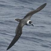 White-naped petrel. Dorsal view of adult in worn plumage flight. North Cape to Three Kings, March 2011. Image © Detlef Davies by Detlef Davies